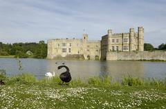 Black swan cygnus atratus in front of leeds castle kent england Stock Photos