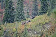 female moose alces alces in the autumn coloured denali nationalpark alaska us - stock photo