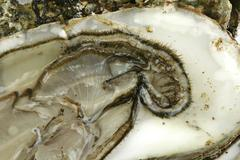 oyster as a makro shot - stock photo