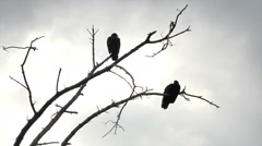 Buzzard bird Silhouette in dead tree HD 117 Stock Footage