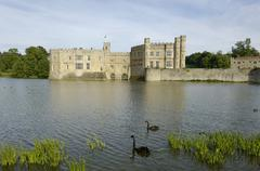 black swans cygnus atratus leeds castle kent england - stock photo