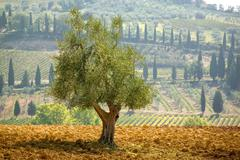 Olive tree with cypresses and fields in the background, tuscany, italy Stock Photos