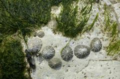 Stock Photo of mussels and seaweed sussex england