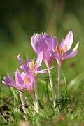 meadow saffron (colchicum autumnale) - stock photo