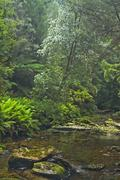 Rainforest at tributuary river to franklin river in franklin gordon wild rive Stock Photos