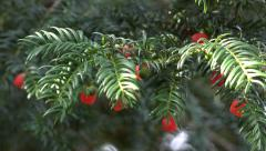 Nature Background Green Yew Tree with Red Berries Stock Footage