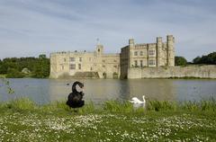 black swan cygnus atratus in front of leeds castle kent england - stock photo