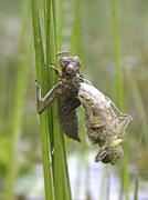 Stock Photo of The birth of a dragonfly Aeschna cyanea