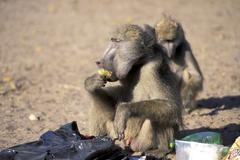 Stock Photo of Baboons are checking a garbage bag and eating rubbish Botswana