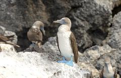 Blue-footed Booby, Galapagos Islands, Ecuador Stock Photos