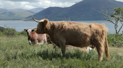 Highland Cattle on the Isle of Mull, Scotland Stock Footage