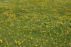 Meadow of yellow marsh marigold Caltha palustris - stock photo