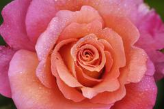 detail of a rose blossom or flower, ave maria rose - stock photo