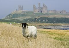 Craster GBR 18 Aug 2005  A sheep in front of the ruin of Dunstanburgh Castle Stock Photos