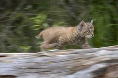 First stalking attempts of a bobcat cub - stock photo