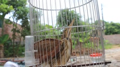 Ixobrychus sinensis in cage Stock Footage