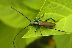 a longicorn sitting on a leaf (cerambycidae) - stock photo