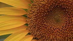 Sunflower close-up, Tokyo, Japan Stock Footage