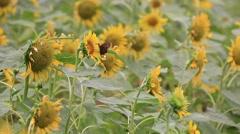 Sunflower field at Showa Memorial Park, Tokyo, Japan Stock Footage