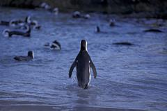Penguins at Boulders Beach in Simonstown Penguin is going into water South Stock Photos