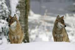 Wolves (canis lupus) in a game reserve, bavarian forest, germany Stock Photos