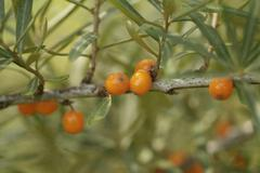 Sallow thorn hippophae rhamnoides Stock Photos