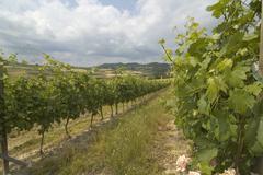 Vineyards near Alfiano Natta at the castle Razzano north of Asti Piedmont - stock photo