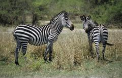 Zebras at south luangwa national park Stock Photos