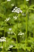 Ground Elder Aegopodium podagraria Germany - stock photo