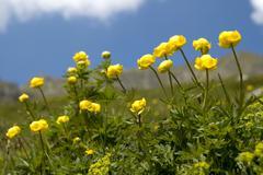 globeflower trollius europaeus alp avion grimentz val anniviers valais switze - stock photo