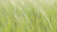 Green ryes or crops from the fields waving on the air, fs700 odyssey 7q Stock Footage