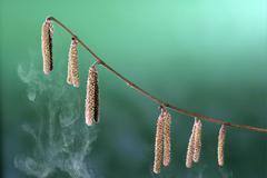 Seeds of the hazelnut tree (corylus avellana) are spreading a lot of pollen Stock Photos