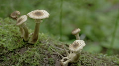 Sprouting white mushrooms on the mossy trunk in the forest, fs700 odyssey 7q Stock Footage