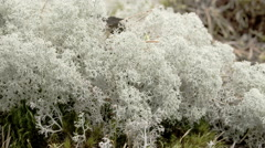The cotton balls like cup lichen sprouting in the forest, fs700 odyssey 7q Stock Footage