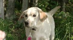 A white labrador, retriever dog, catching water, fs700 odyssey 7q Stock Footage
