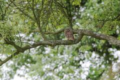 Little owl (athene noctua) is sitting in a fruit tree, overlooking the enviro Stock Photos