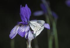 siberian iris - iris sibirica - black-veined white aporia crataegi - germany - stock photo