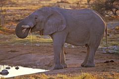 One elephant Loxodonta africana at Okaukuejo waterhole  Etosha National Park Stock Photos