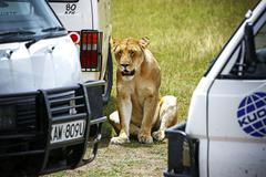 safari game drive in maasai mara national park - stock photo