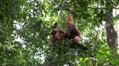 Male orangutan resting in nest in jungle Stock Footage