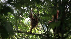 Baby orangutan climbing tree in forest Stock Footage