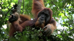 Male orangutan resting in forest tree nest Stock Footage