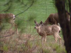 Mule deer (Odocoileus hemionus) foraging along the Chilnualna Falls trail Stock Footage
