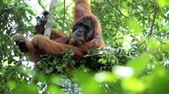 Male orangutan resting in its tree nest - stock footage