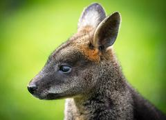 beautiful agile wallaby - stock photo