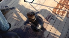 Tilt from Sea lion at the pier to water taxis Stock Footage