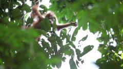 Cute baby orangutan climbing in tree Stock Footage