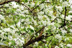 apple tree in bloom - stock photo