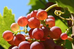 Red grapes with backlight - stock photo