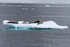 crabeater seals group on the ice in antarctic waters - stock photo